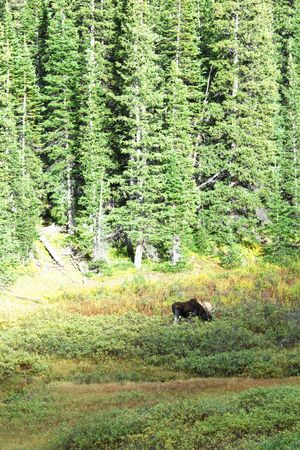 distance: Bull Moose in the Distance