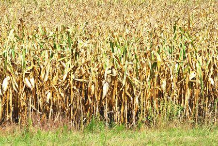 秋のトウモロコシ畑 写真素材