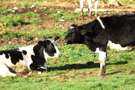 Two Holstein Cows Stock Photo - 6971380