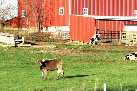 Cows by Red Barn photo