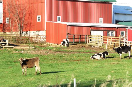 Cows by the Red Barn photo