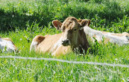 guernsey: Guernsey Cow Resting Stock Photo