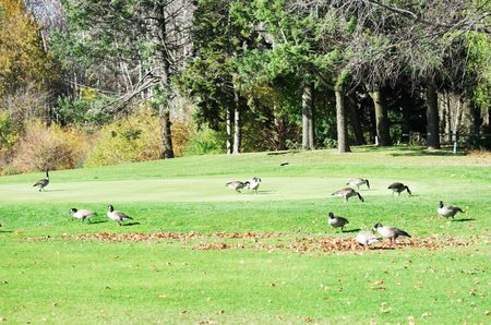 Geese on the Golf Course photo