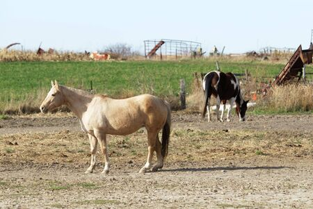 Horses in Dry Pasture photo