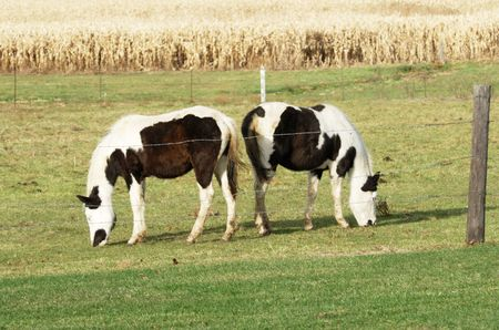 Two Pintos Grazing Stock Photo - 7158149