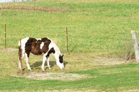 Pinto Grazing by Fence photo