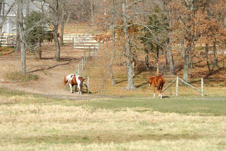 Horses Walking to the Barn photo