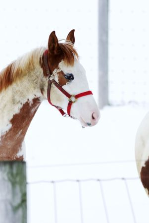 bridle: Pinto with Red Bridle Stock Photo
