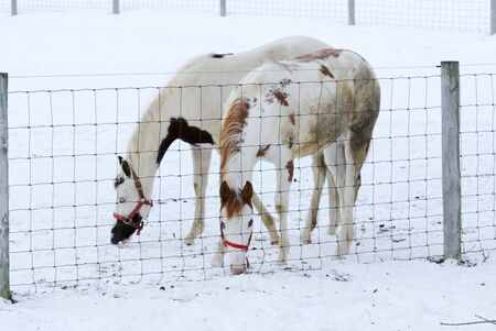 Two Pintos in Snowy Corral photo