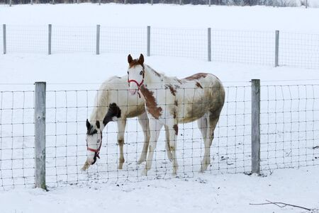 Two Pintos in Winter Snow photo