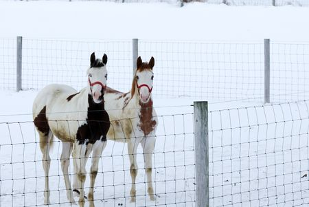 Two Pintos Standing by the Fence in the Snow photo