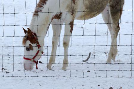 Pinto Grazing in Snow photo