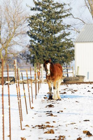 clydesdale: Brown Horse by the Fence and Evergreen Tree