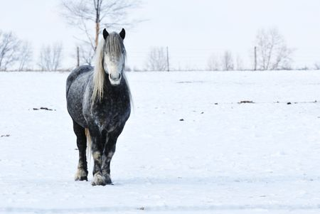 Percheron in Winter Pasture photo