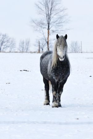 Gray Horse in Snowy Pasture