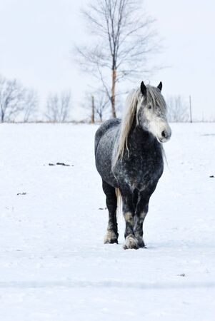 Gray Horse in Winter Pasture photo