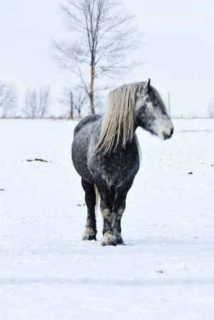 shire horse: Gray Horse in Snow