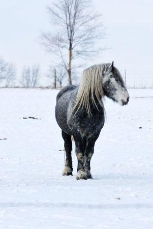 Gray Horse in Snow photo