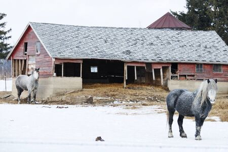 Two Gray Horses in Winter Pasture photo