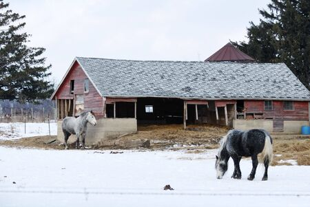 Two Gray Horses in Snowy Pasture photo