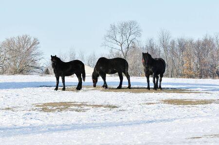 Three Black Horses in Winter photo