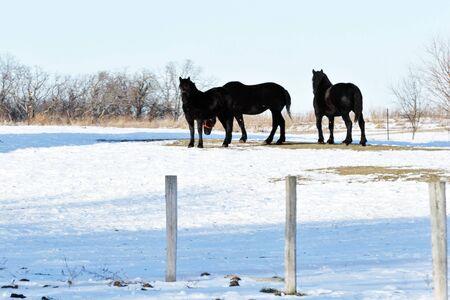 Three Black Horses in Winter Pasture photo