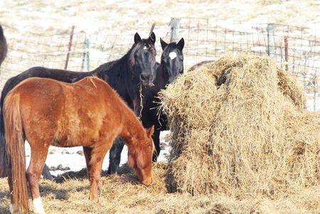 Horses Eating Hay in Winter photo