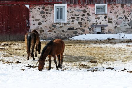 Two Horses Grazing in Winter photo