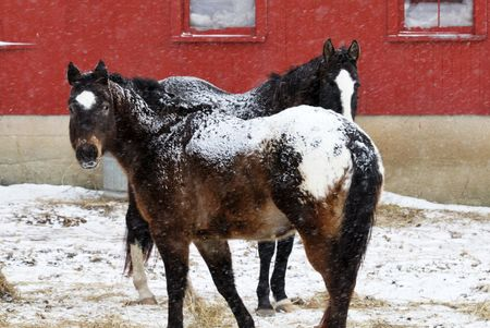 Two Brown Horses in Falling Snow photo