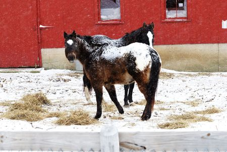 Horses in Falling Snow photo