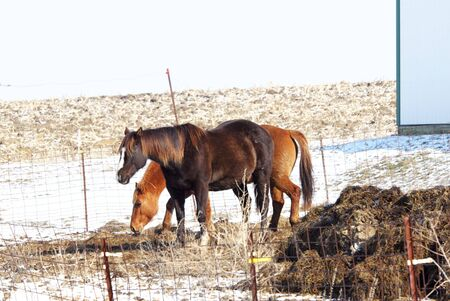 Two Brown Horses in Winter photo