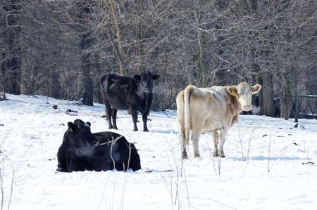 Three Cows in Winter Pasture photo