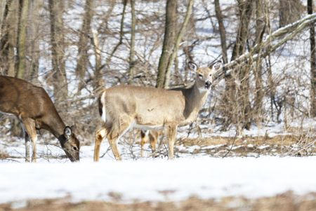Two Deer in Winter Snow photo