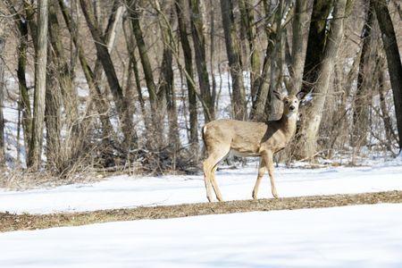 Deer in the Winter Woods Stock Photo - 7590177