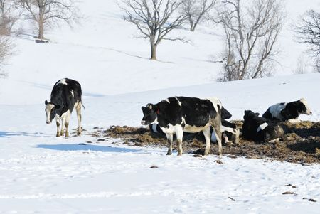 Cold Cows in Snow photo