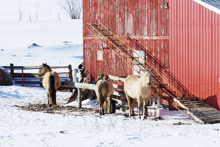 Horses by Red Barn in Winter