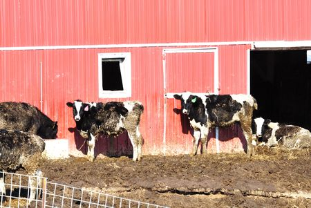Holstein Cattle by Red Barn photo