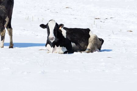 Cow in the Snow photo
