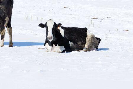 Mucca nella neve Archivio Fotografico - 7617674