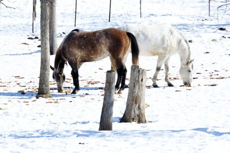Two Horses in Snowy Pasture photo