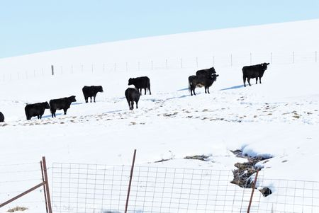 Cattle on Snowy Hill photo