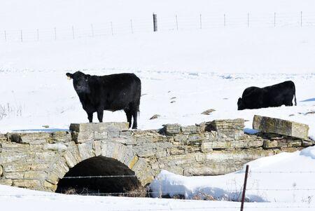 black angus: Black Angus on Old Stone Bridge Stock Photo
