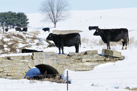 Black Cows by Old Stone Bridge photo