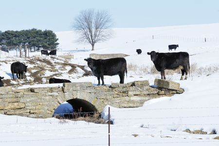Black Cows by Old Bridge photo