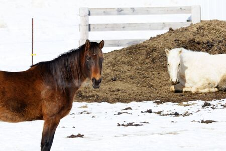 Two Horses in Winter photo