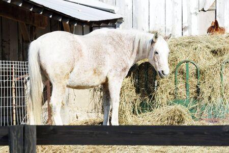 dapple grey: Gray Horse by Hay Feeder Stock Photo