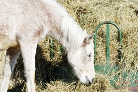Gray Horse Eating Hay