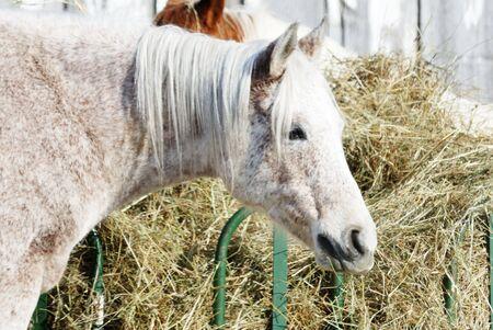 dapple horse: Gray Horse by Hay Feeder Stock Photo