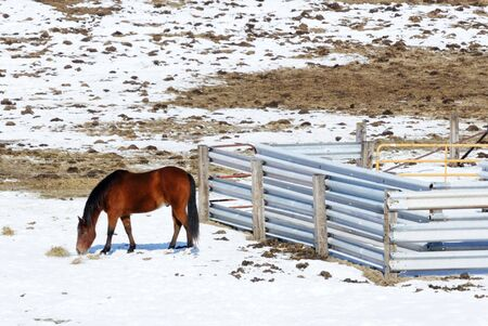 Brown Horse Grazing in Winter by Silver Fence 版權商用圖片