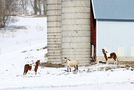 dapple grey: Three Horses by Two Silos Stock Photo
